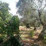 Olivenhain in der direkten Nachbarschaft