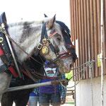 Die braven Kutschenpferde der Familie Fichtinger