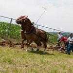 pflügen mit Pferd