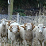 oveja cachena autoctona