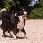 "Unser Hund ""Chico""- Border Collie"