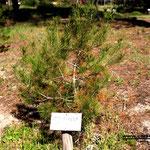 Le pin d'Alep