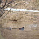 harlekijn eenden (Amut Lake)
