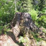 Dennen stronk, Altai, Rusland met Brachyopa, Blera en Xylota