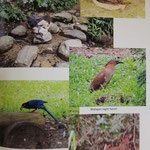 Hueisun, Malayan nightheron, Taiwan blue Magpie, Swinhoes pheasant