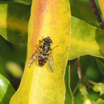 Myathropa florea Lissabon slot 23-2