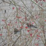 Kramsvogels januari 2013