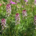 orchidee (Volovja Reber)
