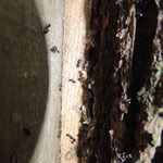 zwart glanzende hout mier