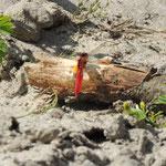 Duin meertje Noord Holland, Vuurlibel (Crocothemis erythraea)