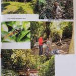 Cilan, Formosan rock macaque