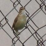 rietzanger (Black-browed reed warbler)