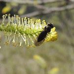 vrouwtje fouragerend op Salix sp. Taiwan Hehuanshan Mountain