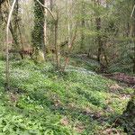 Bunderbos, de Poort. Zuid-Limburg. Diverse houtbewoners en Cheilosia maculata en C. fasciata bij de daslook.