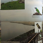 Hualien estuary, Black-browed Barbet, Long-tailed Shrike etc