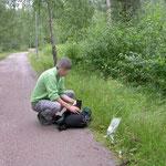 Nuuksio NP Högbacka (Cheilosia larven in de muizenoortjes)