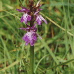 orchidee (Piller Moor)