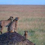 GILLIEAUX Brigitte. 3 léopards sur butte