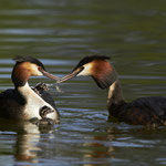 BROUHIER Pierre. Grebes