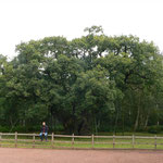 Grand Oak im Sherwood forest