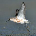 Sichelstrandläufer (Curlew Sandpiper) Trischen 2012