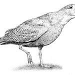 Eismöwe (Glaucous Gull)