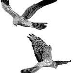Wiesenweihen (Montagu's Harriers)