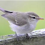 Grünlaubsänger (Greenish Warbler), Trischen 2012