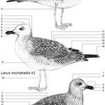 Steppenmöwe, Mittelmeermöwe und Silbermöwe im ersten Winterkleid (Caspian Gull, Yellow-legged Gull and Herring Gull in first winter plumage)