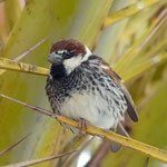 Weidensperling (Spanish Sparrow), Lanzarote 2014