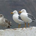"Mittelmeermöwe (Yellow-legged Gull) ssp ""atlantis"", Lanzarote 2014"