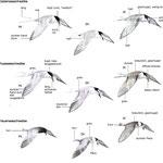 Seeschwalben (Terns)