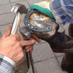 Hier sieht man wie die Nägel vernietet werden. Foto: www.derhufschmied.ch