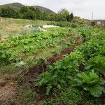 10月末の畑。大根・白菜・カブ・レタス・ホウレンソウなど