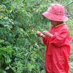 秋のトマト摘み