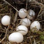 Als Höhlenbrüter brauchen die Eier keine Tarnfarbe!