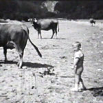 Sommer 1949 Kühe am Inn