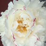 Boule de Niege, a white peony with red flecks and some yellow stamen showing.