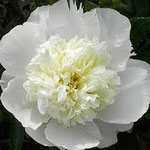 Duchesse de Nemours, a white peony with faint yellow in the center.