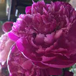 Frosted Rose - A dark rose pink peony with silvery sheen petal tips that gives it a frosted appearance. No fragrance.