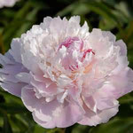 Pecher, a light pink or blush peony, which fades to white, with a few crimson flecks in center.