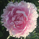 Sarah Bernhardt - A true pink peony with many petals.  Love with Boule de Niege, Henry Sass, and Paul M Wild.