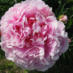 Sarah Bernhardt, a pink peony. Very hardy. If we can't grow these, we can't grow peonies!
