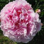 Sarah Bernhardt, a true pink peony with many petals.