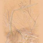 Florale Skizze u.a. geknickter Schachtelhalm am Festungsberg Fortezza in Rethymnon