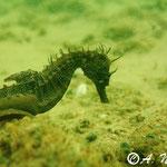 Hippocampe moucheté - Bassin d'Arcachon