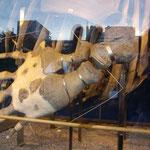 セミクジラの標本