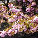 隅田公園の八重桜