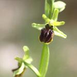 OPHRYS  ARAIGNEE/Ophrys aranifera (du latin : araignée)/LALINDE 14/4/2012