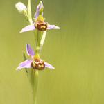 OPHRYS BECASSE / Ophrys scolopax / LALINDE 29/05/2012